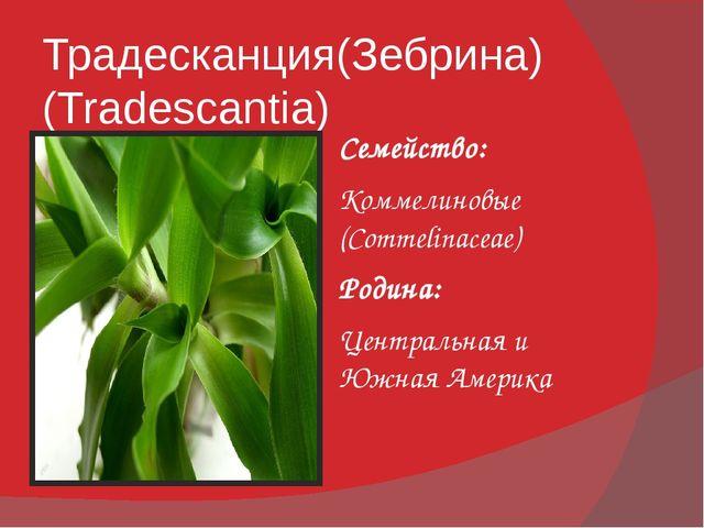 Традесканция(Зебрина) (Tradescantia) Семейство: Коммелиновые (Commelinaceae)...