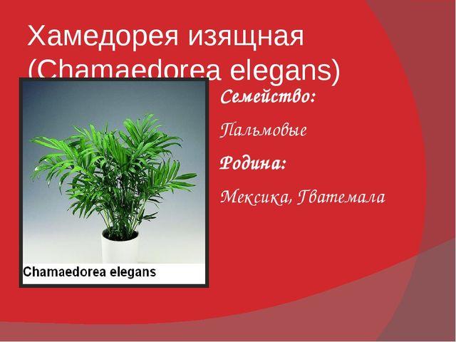 Хамедорея изящная (Chamaedorea elegans) Семейство: Пальмовые Родина: Мексика,...