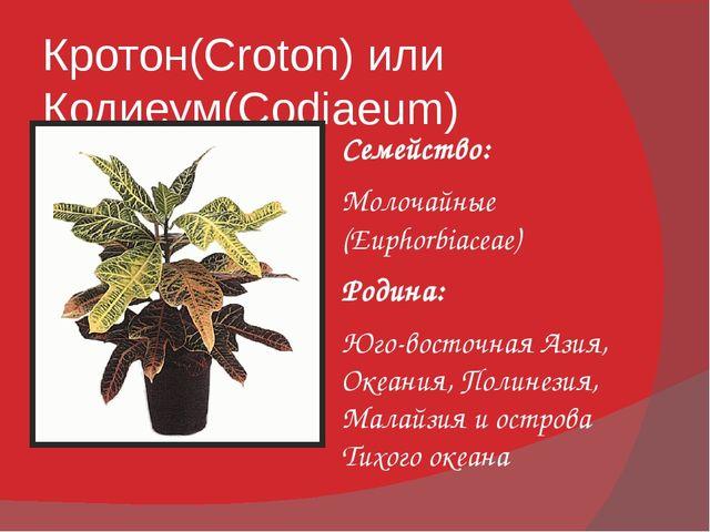 Кротон(Croton) или Кодиеум(Codiaeum) Семейство: Молочайные (Euphorbiaceae) Ро...