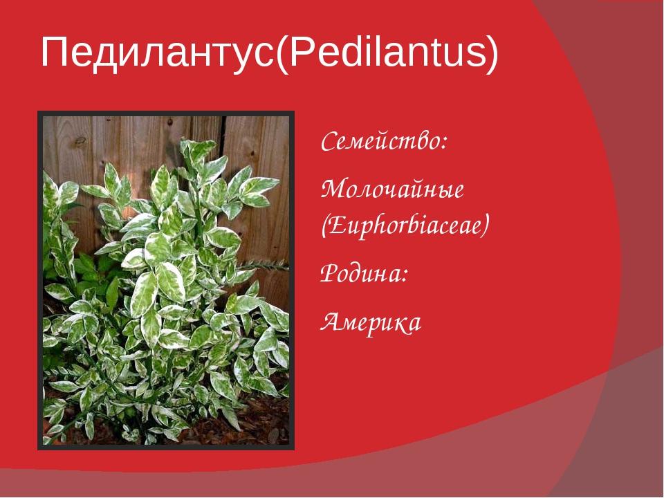 Педилантус(Pedilantus) Семейство: Молочайные (Euphorbiaceae) Родина: Америка