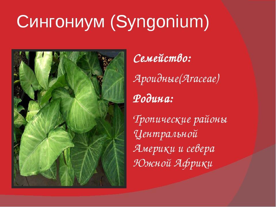 Сингониум (Syngonium) Семейство: Ароидные(Araceae) Родина: Тропические районы...