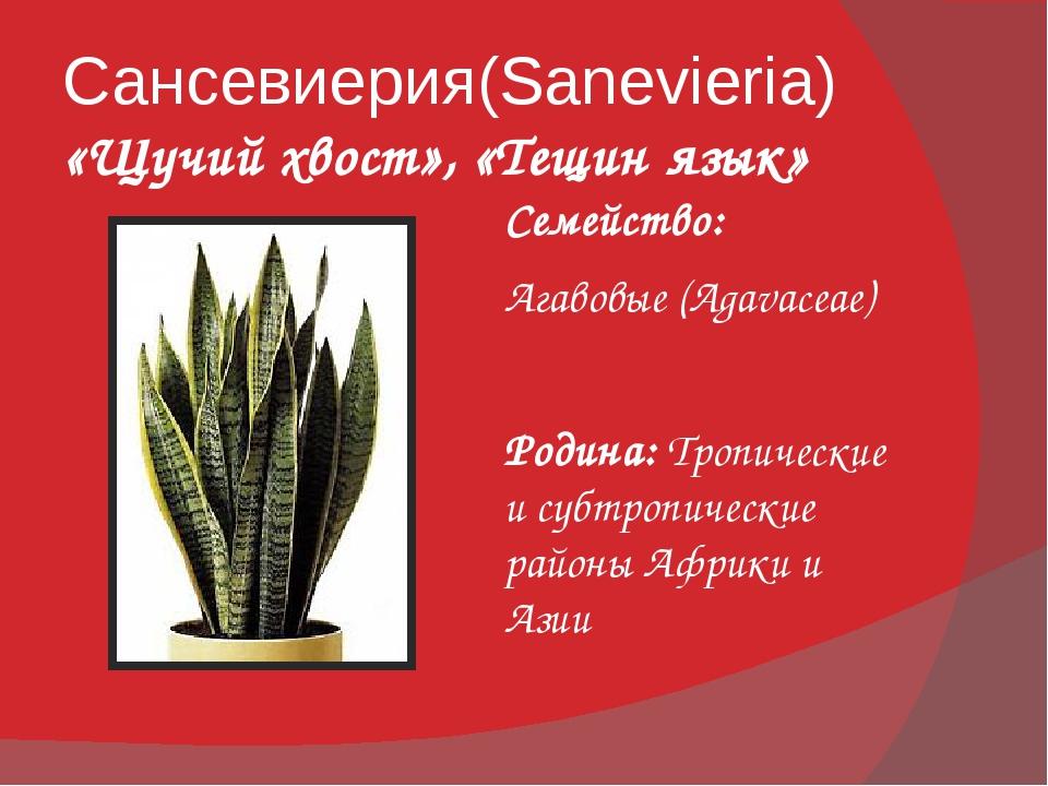 Сансевиерия(Sanevieria) «Щучий хвост», «Тещин язык» Семейство: Агавовые (Agav...