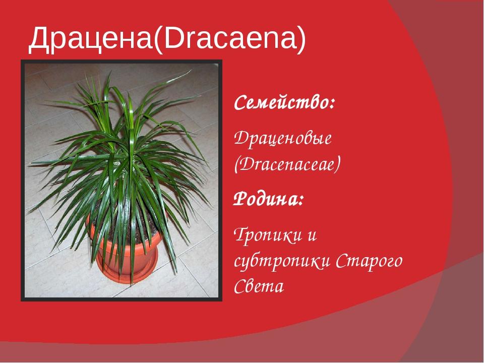 Драцена(Dracaena) Семейство: Драценовые (Dracenaceae) Родина: Тропики и субтр...