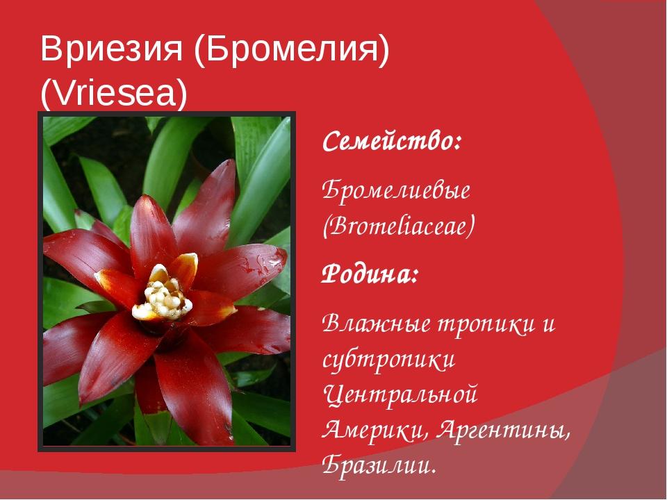 Вриезия (Бромелия) (Vriesea) Семейство: Бромелиевые (Bromeliaceae) Родина: Вл...