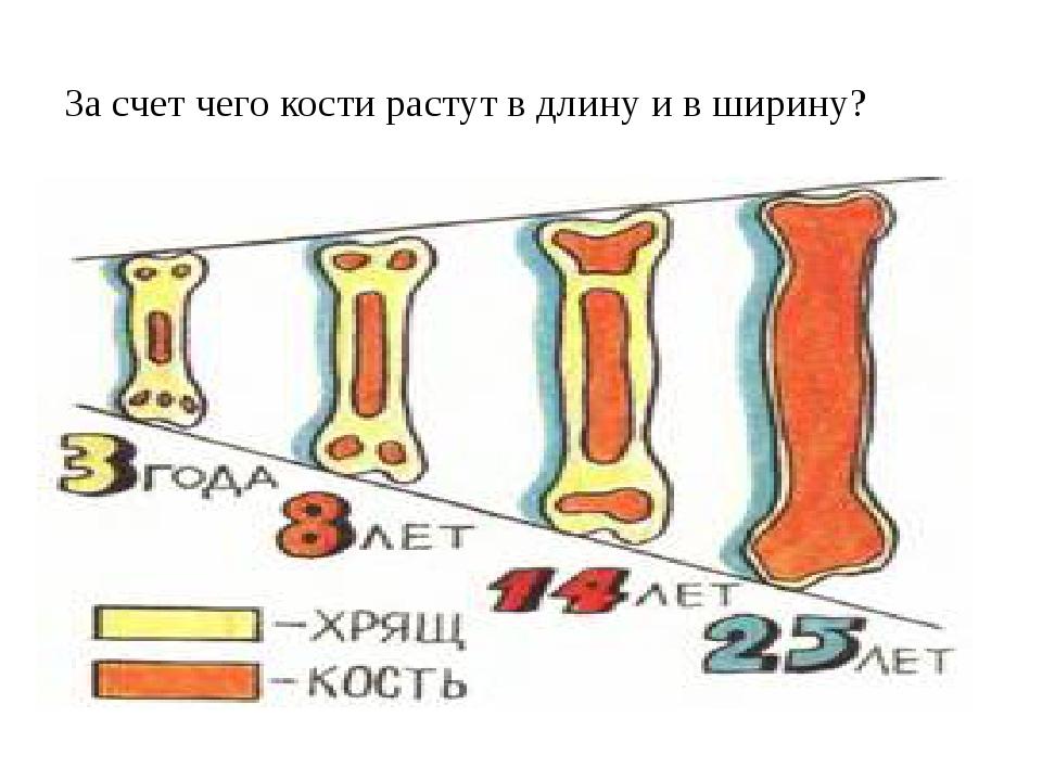 За счет чего кости растут в длину и в ширину?
