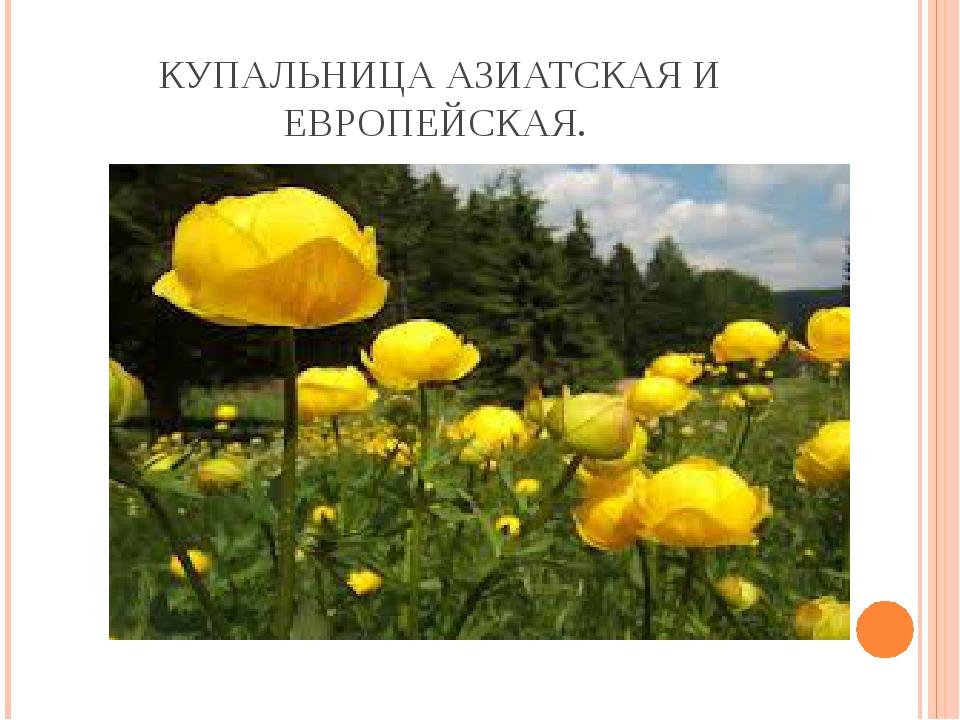 КУПАЛЬНИЦА АЗИАТСКАЯ И ЕВРОПЕЙСКАЯ.