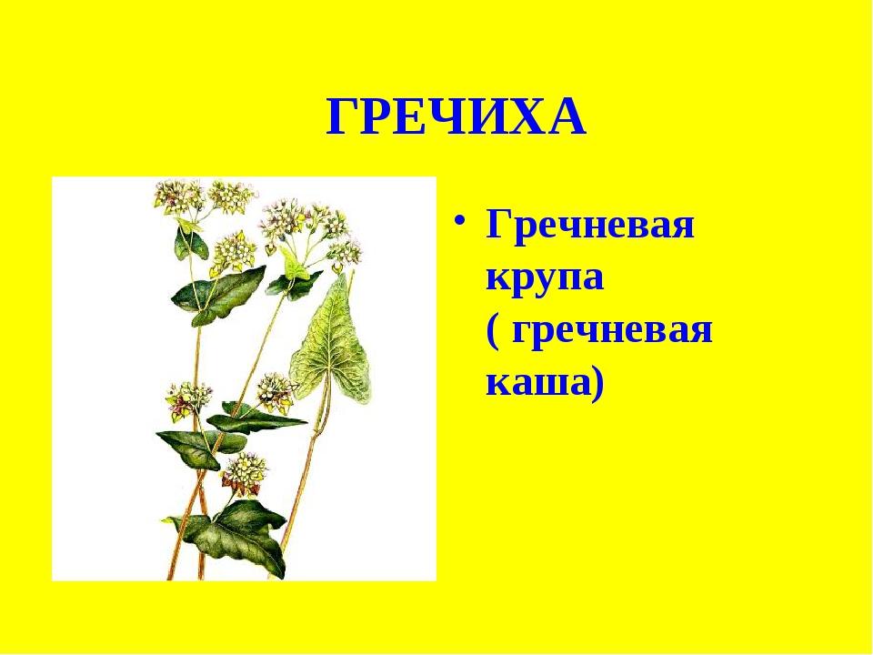 ХГРЕЧИХА Гречневая крупа ( гречневая каша)
