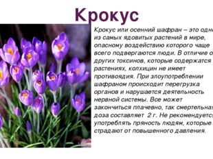 Крокус Крокус или осенний шафран – это одно из самых ядовитых растений в мире