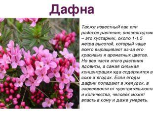 Дафна Также известный как или райское растение, волчеягодник – это кустарник,