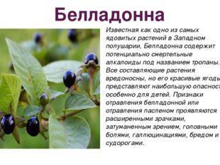 Белладонна Известная как одно из самых ядовитых растений в Западном полушарии