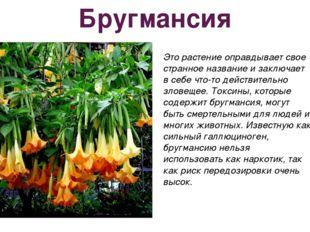 Бругмансия Это растение оправдывает свое странное название и заключает в себе