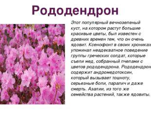 Рододендрон Этот популярный вечнозеленый куст, на котором растут большие крас
