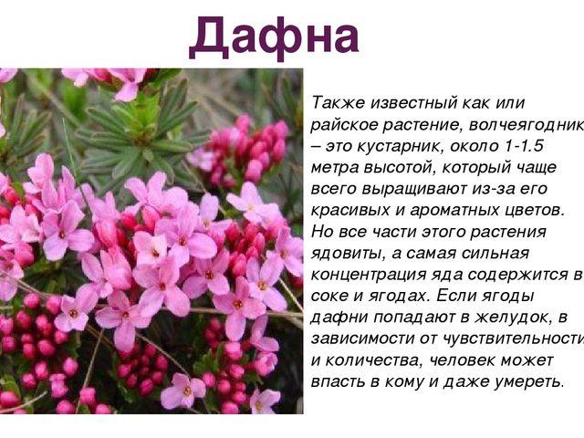 Дафна Также известный как или райское растение, волчеягодник – это кустарник,...