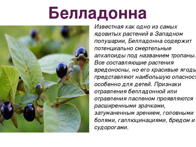 Белладонна Известная как одно из самых ядовитых растений в Западном полушарии...