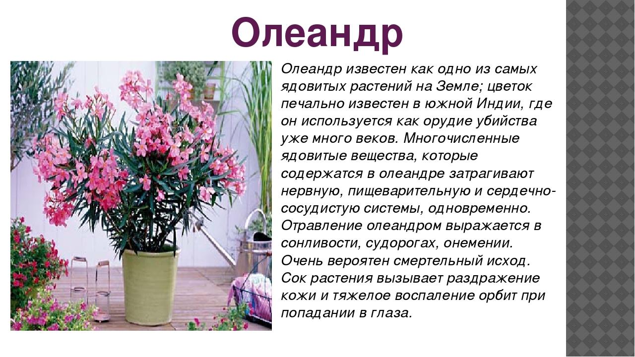 Олеандр Олеандр известен как одно из самых ядовитых растений на Земле; цветок...