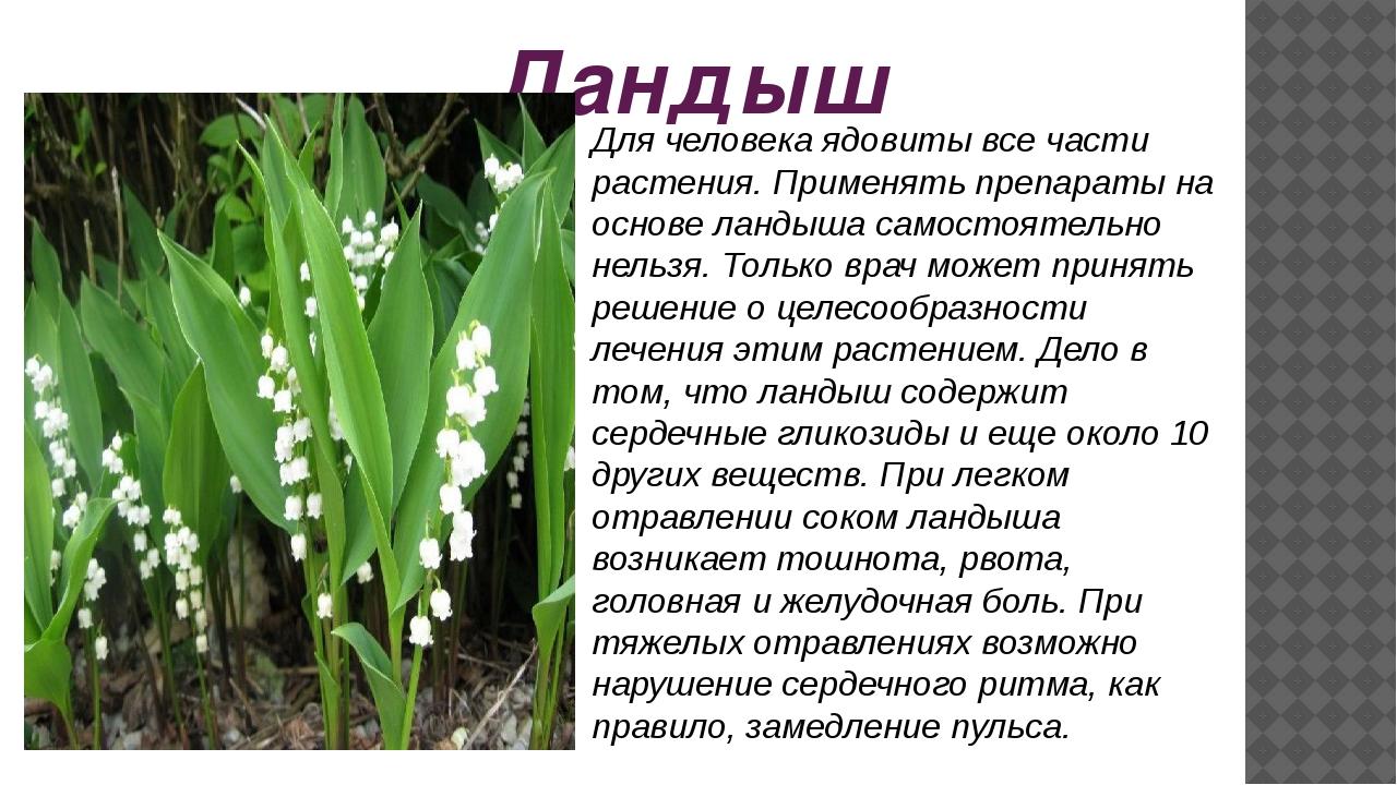 Ландыш Для человека ядовиты все части растения. Применять препараты на основе...