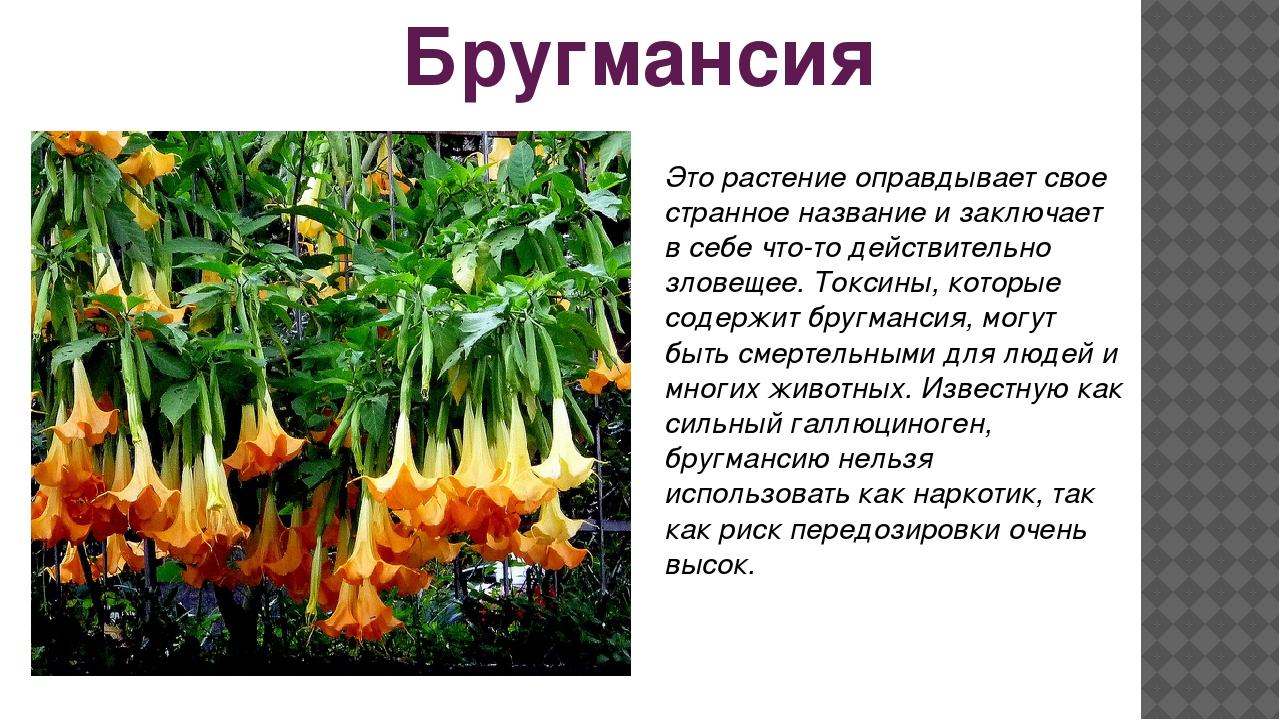 Бругмансия Это растение оправдывает свое странное название и заключает в себе...