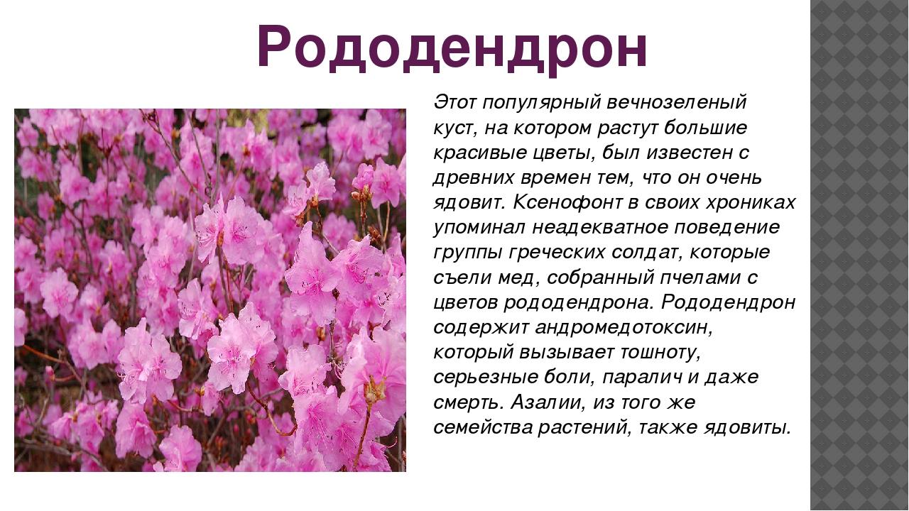 Рододендрон Этот популярный вечнозеленый куст, на котором растут большие крас...