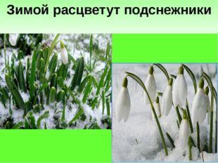Зимой расцветут подснежники