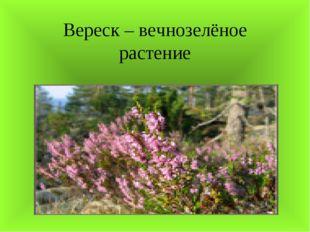 Вереск – вечнозелёное растение