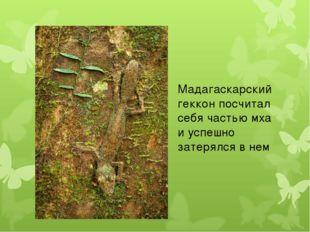 Мадагаскарский геккон посчитал себя частью мха и успешно затерялся в нем