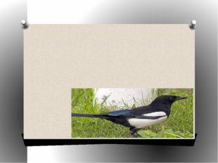 Птица с белыми крыльями, очень подвижная, издающая характерный крик – стреко