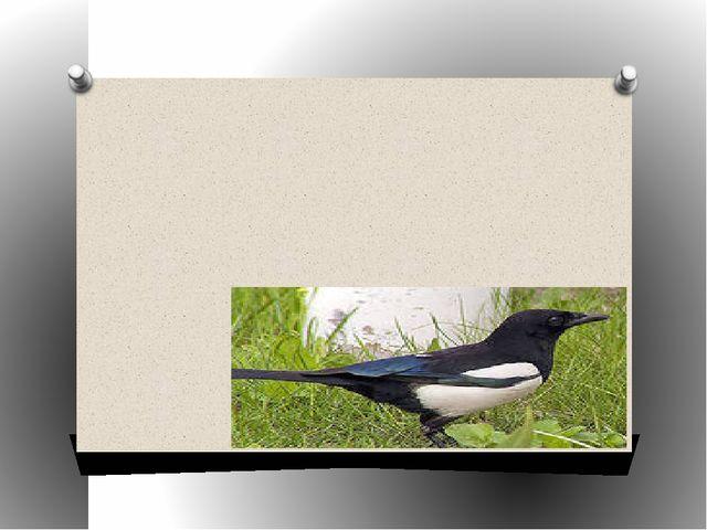 Птица с белыми крыльями, очень подвижная, издающая характерный крик – стреко...