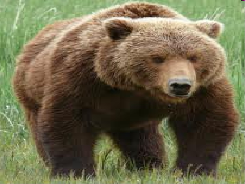 grizzly bear attacks - 800×600