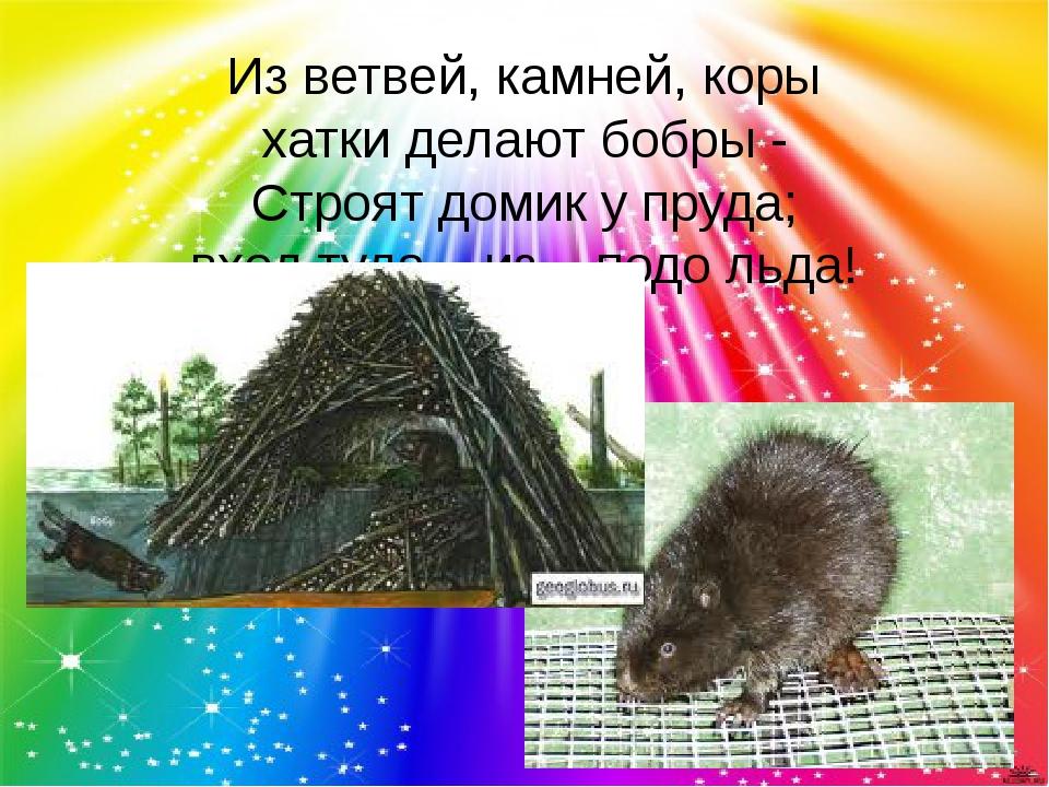 Из ветвей, камней, коры хатки делают бобры - Строят домик у пруда; вход туда...