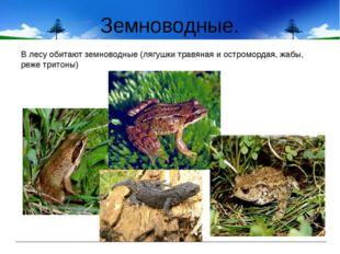 Земноводные. В лесу обитают земноводные (лягушки травяная и остромордая, жабы