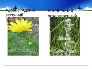 Адонис. Адонис весенний (горицвет). Алтей. Алтей лекарственный.