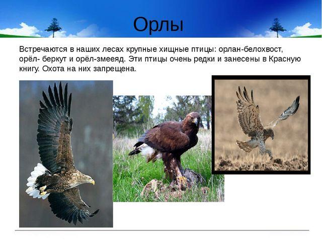 Орлы Встречаются в наших лесах крупные хищные птицы: орлан-белохвост, орёл- б...