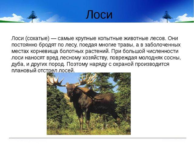 Лоси Лоси (сохатые) — самые крупные копытные животные лесов. Они постоянно бр...