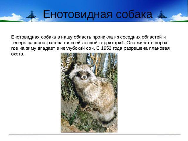 Енотовидная собака Енотовидная собака в нашу область проникла из соседних обл...