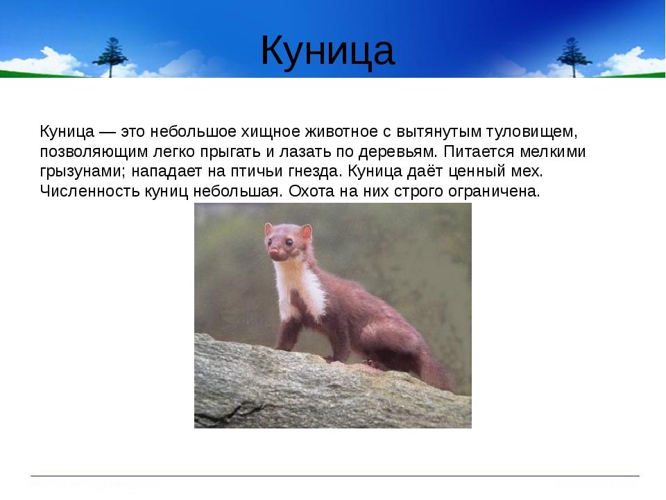 Куница Куница — это небольшое хищное животное с вытянутым туловищем, позволяю...