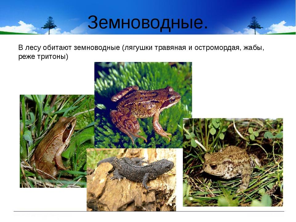 Земноводные. В лесу обитают земноводные (лягушки травяная и остромордая, жабы...