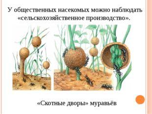 У общественных насекомых можно наблюдать «сельскохозяйственное производство».