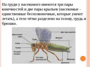 На груди у насекомого имеются три пары конечностей и две пары крыльев (насеко