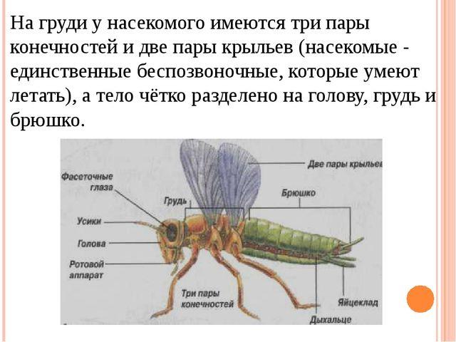 На груди у насекомого имеются три пары конечностей и две пары крыльев (насеко...
