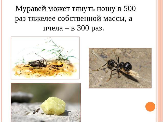 Муравей может тянуть ношу в 500 раз тяжелее собственной массы, а пчела – в 3...
