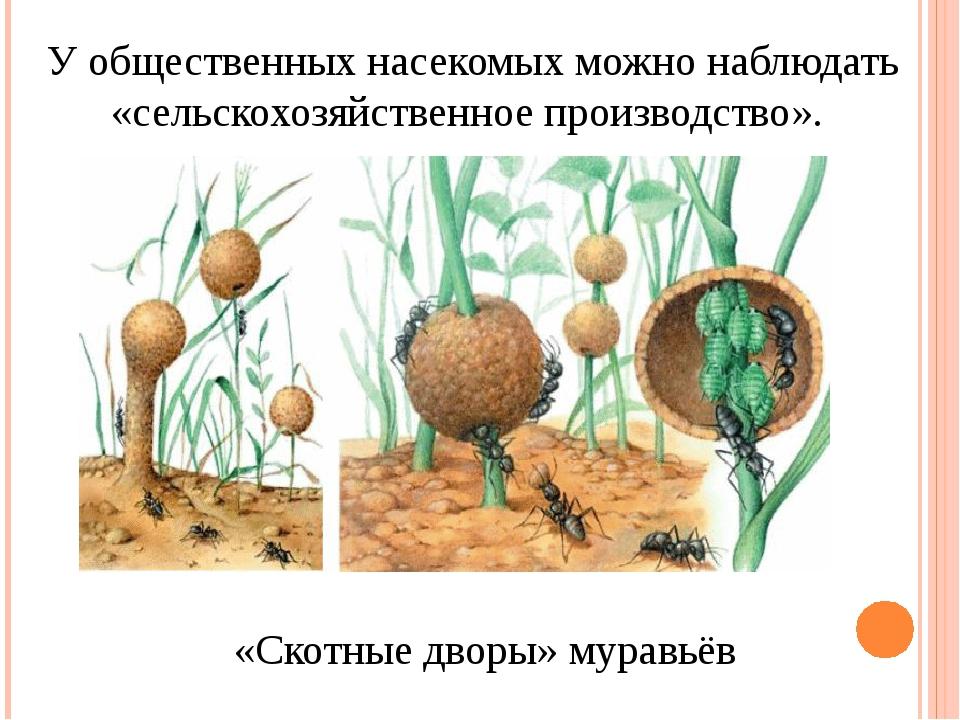 У общественных насекомых можно наблюдать «сельскохозяйственное производство»....
