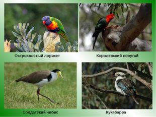 Королевский попугай Острохвостый лорикет Солдатский чибис Кукабарра
