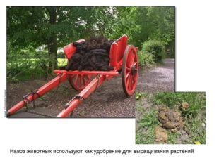 Навоз животных используют как удобрение для выращивания растений