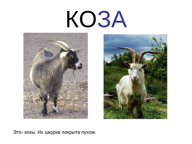 КОЗА Это- козы. Их шкурка покрыта пухом.