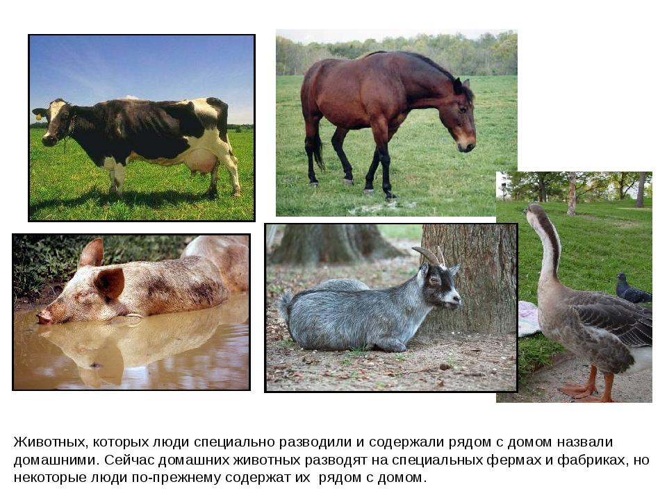 Животных, которых люди специально разводили и содержали рядом с домом назвали...