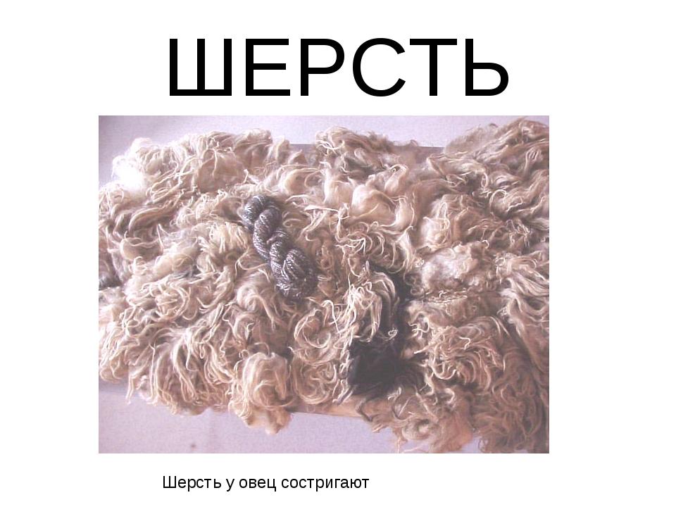 ШЕРСТЬ Шерсть у овец состригают