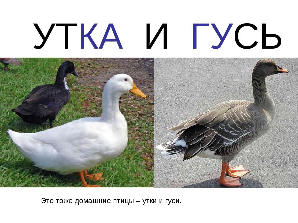 УТКА И ГУСЬ Это тоже домашние птицы – утки и гуси.