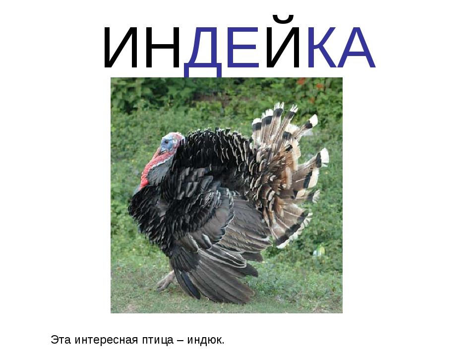 ИНДЕЙКА Эта интересная птица – индюк.