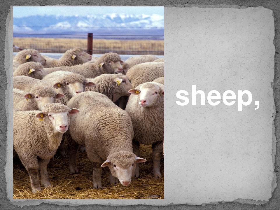 sheep,