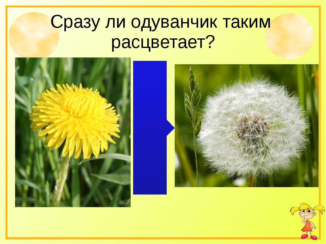 Сразу ли одуванчик таким расцветает?